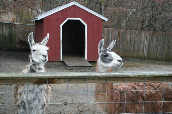 ZooQuarium: llamas!