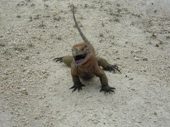 Cueva de las Maravillas : Una de las hermosas iguanas modelando, yo le llamo Iguaniona.