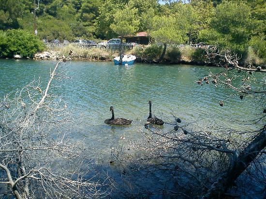 Koukounaries Beach: Swans on the beach