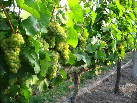 Pak Chong, Thaïlande : Chenin Blanc bunches ready to be harvested
