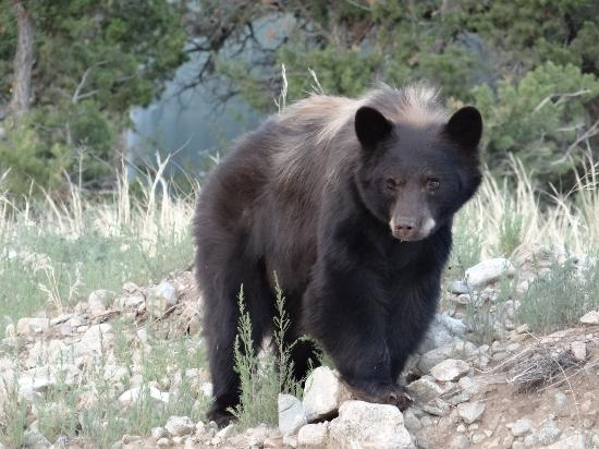 Great Sand Dunes Lodge: Black Bear that came around the Lodge
