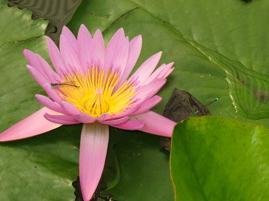 Hells of Beppu: lotus in green house