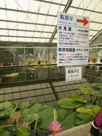 Hells of Beppu: lotus grown in green house, Umi-Jigoku