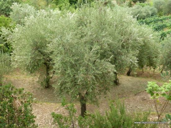 La Piccola Oasi B&B: View on the olive trees park