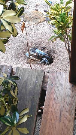 CoCo View Resort: One of the *many* ground crabs