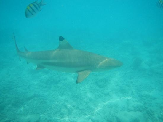 Kuramathi Island Resort: Shark