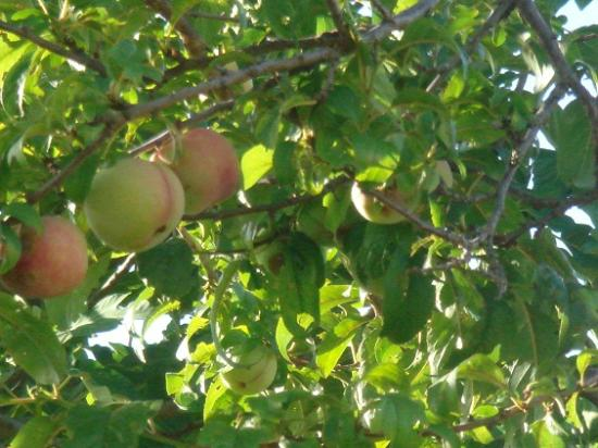 Casa Portagioia: Fruit tree.