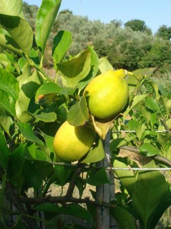 Casa Portagioia: Lemon tree.