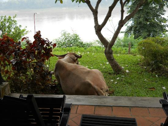 The Grand Luang Prabang Hotel & Resort: Buffalo relaxing one morning right on my balcony!