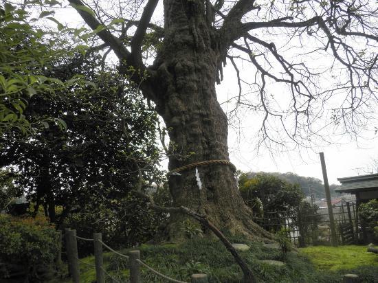 Egaraten Shrine: 大銀杏