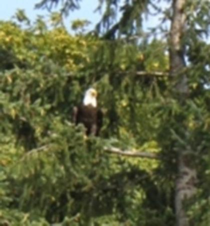 Maple Ridge Cottages: One of the four Bald Eagles