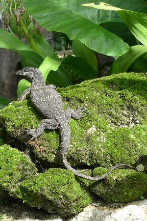 El Nido Resorts Lagen Island: Normal to see these harmless lizards