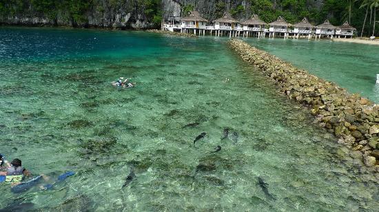 El Nido Resorts Lagen Island: Gian Silver Jacks feeding at Miniloc 