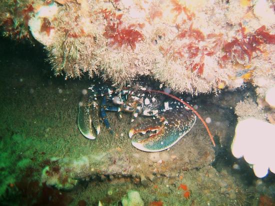 Swanage Diving: Lobster seen at Peveril Ledges