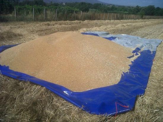 Lanuvio, Włochy: Grano duro  biologico varietà San carlo Raccolto 2012