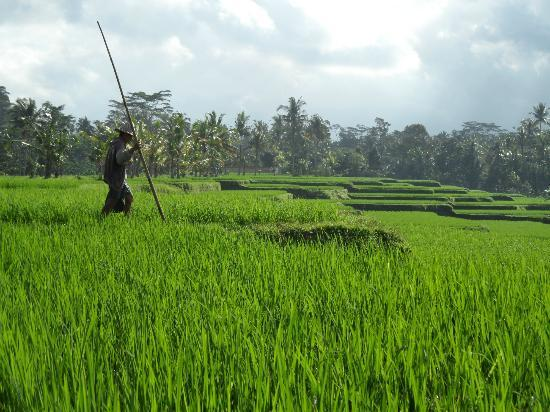 The Zala Villa Bali: RICE FIELD