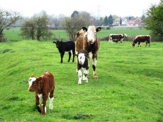 Glebe Farm Cottages: Cows