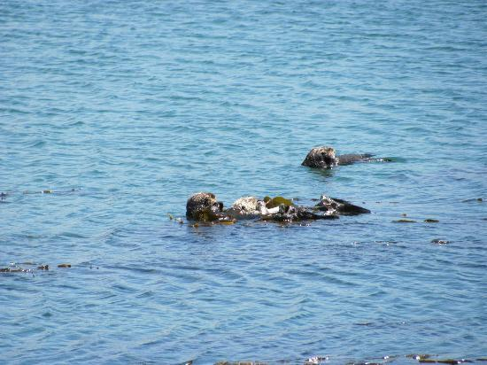 Anderson Inn: Wow, a sea otter holding a baby!
