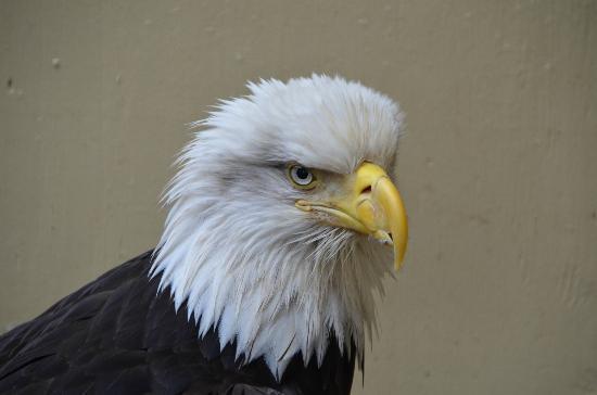 Goldbelt Mount Roberts Tramway: Eagle rescue