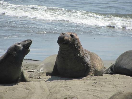 Anderson Inn: Elephant seals!