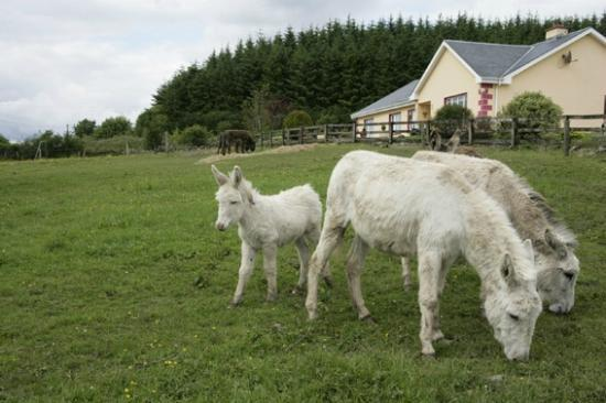 Hillview House Bed & Breakfast Clare: Donkeys in front of Hillview B&B