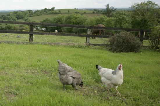 Hillview House Bed & Breakfast Clare: Free Range Hens at Hillview B&B