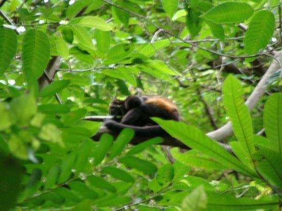 Rincon Corobici : monkey