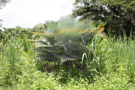 Une tr s large vari t de palmiers photo de jardin botanico soledad de cienfuegos cienfuegos - Sortes de palmiers ...
