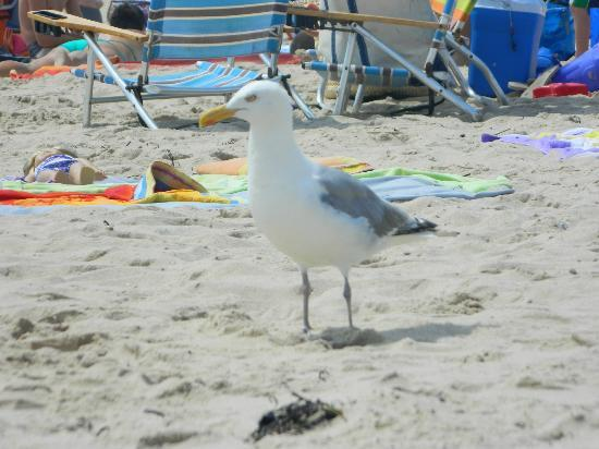 Ditch Plains: seagull on the beach