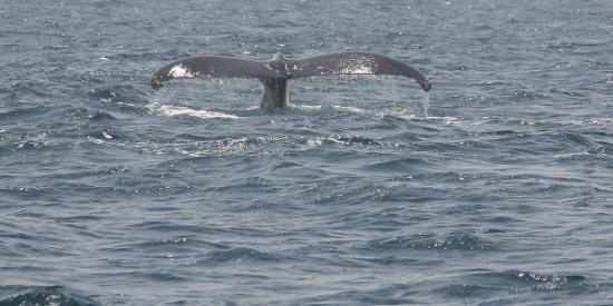 Whale Watching Panama: Whale tail (fluke)
