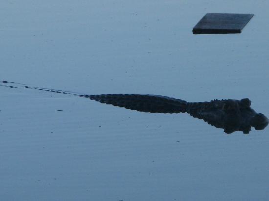 Sandoval Lake Lodge : coco, the caiman at the lodge