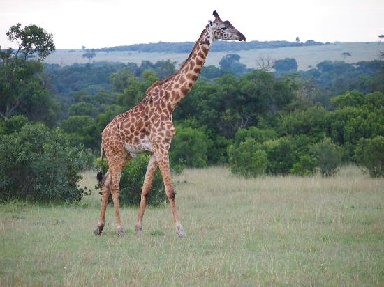 Fairmont Mara Safari Club: Girafes... you'll see plenty of them