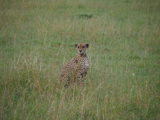 Fairmont Mara Safari Club: Cheetah...