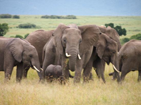 Fairmont Mara Safari Club : Elephants