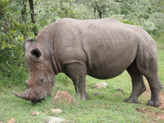 فيرمونت مارا سافراري كلوب: Rhino