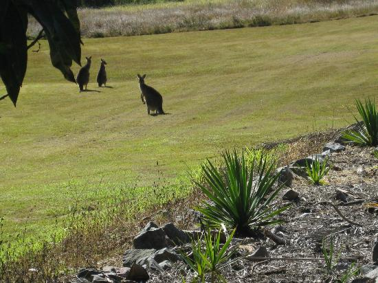 Glass on Glasshouse : Kangaroos in the orchard