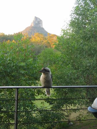 Glass on Glasshouse: Cheeky kookaburra with Mt Coonowrin in background