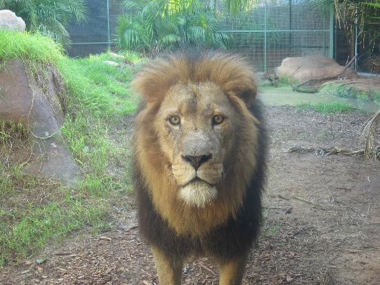 South Perth, Australia: サービス精神旺盛なライオン