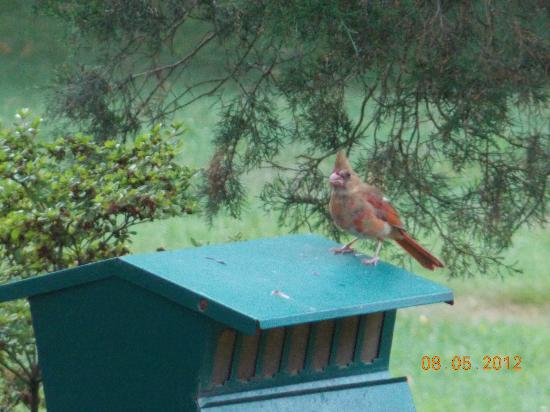 Inn at Monticello: baby cardinal enjoy it's breakfast Saturday morning