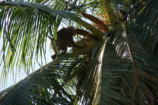 Samui Monkey Theatre: Monkey working, picking coconuts
