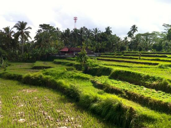 ‪‪Pandawas Villas‬: View of neighbouring rice fields from the Buddy bar