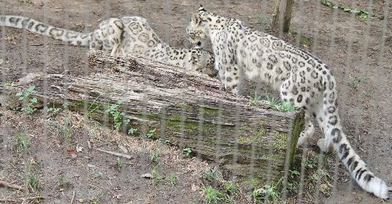 Memphis Zoo: Leopards ?