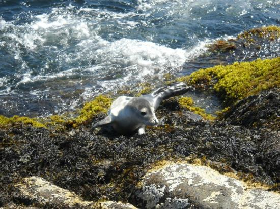 Cape Neddick Nubble Lighthouse: Baby sea lion we saw @ Nubble