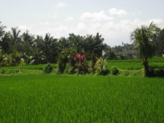 Bali Moon: Surrounding rice fields
