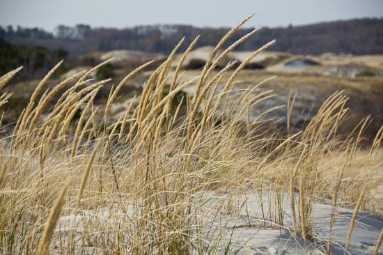 Ipswich, MA: Dune grass blowing; Crane Beach 2012