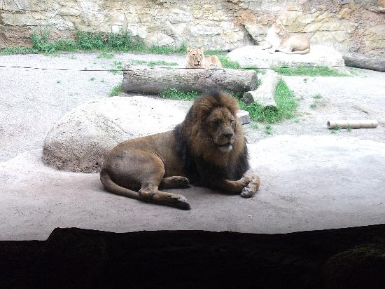 Zoo Wuppertal: watching over his girls
