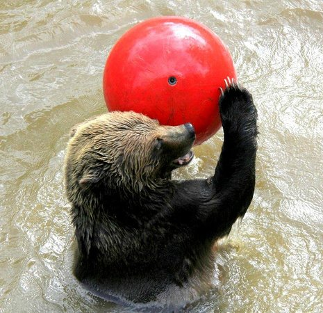 "Greater Vancouver Zoo: ""Shadow"" the Grizzly Bear playing with her ball"