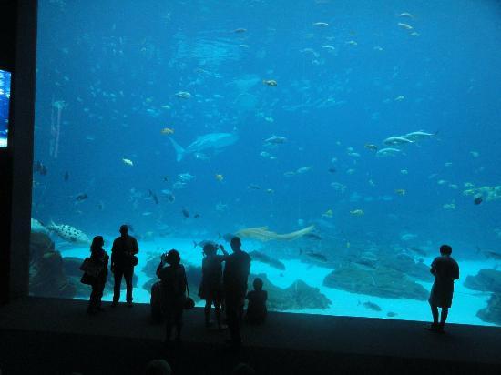 Georgia Aquarium: Whale sharks