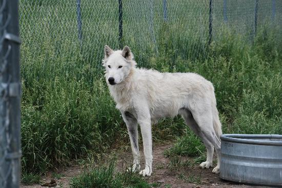 Howlers Inn Bed & Breakfast and Wolf Sanctuary: Comanche