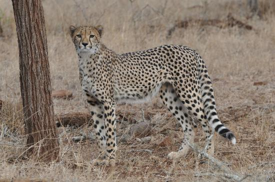 Leopard Mountain Safari Lodge: one of our Cheetah sightings on a Game drive..
